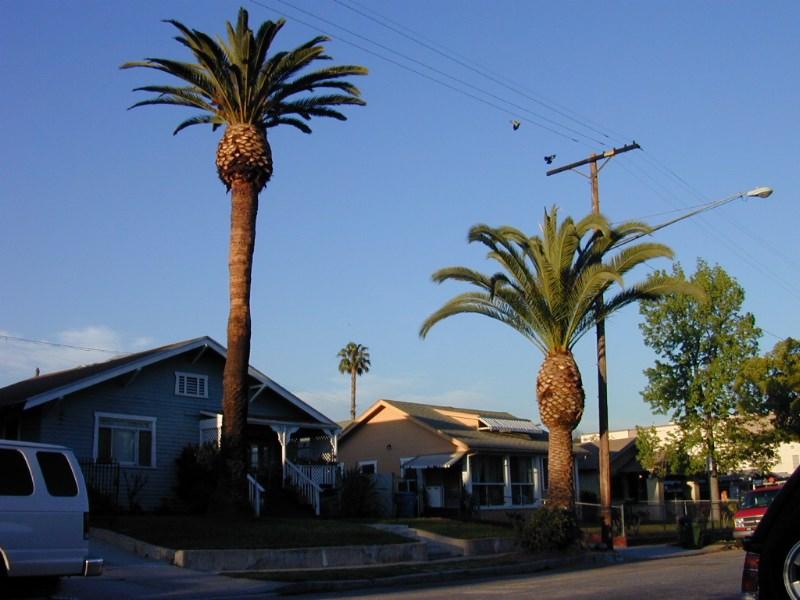 Mature date palm
